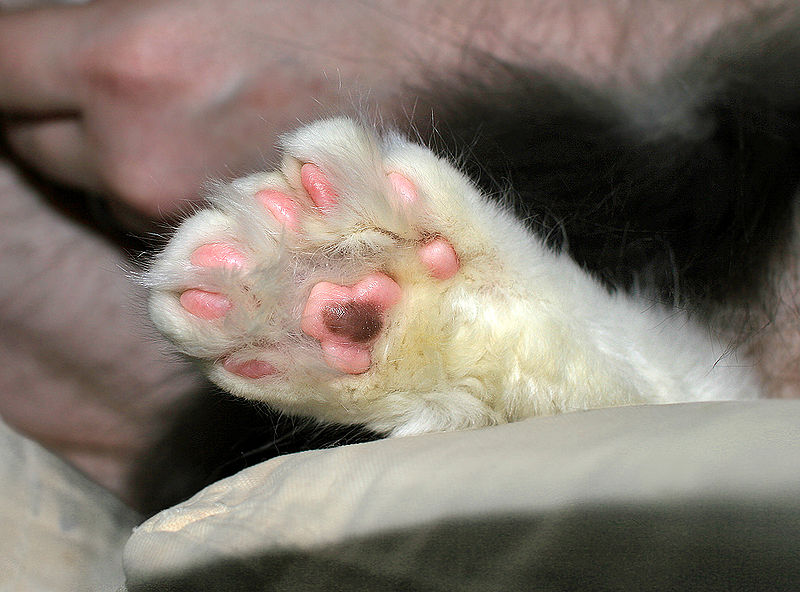 800px-Polydactyl_cat_7toes