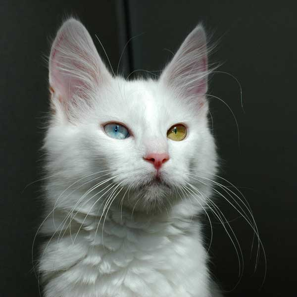 Odd-eyed_Turkish_Angora_cat_-_20080830