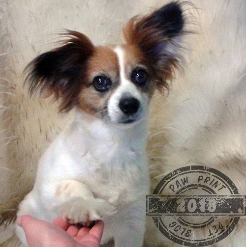My Papillon Kitsune Is Far From The Breed Standard After All And He S An Amazing Dog